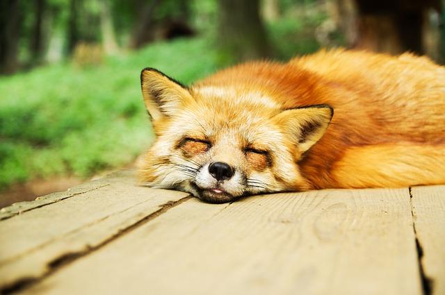 Spiaca líška.jpg
